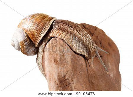 Burgundy Snail Bend Over Stone