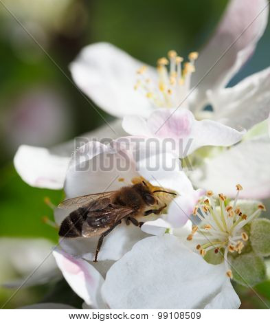 Bee Collect Pollen On Apple Flower