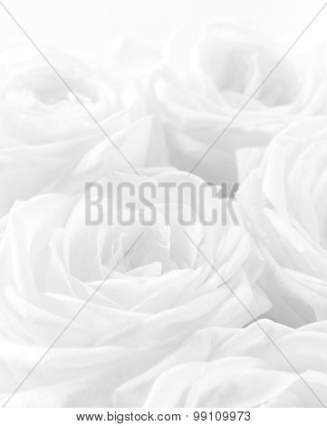 Beautiful White Roses As Wedding Background. Soft Focus. High Key