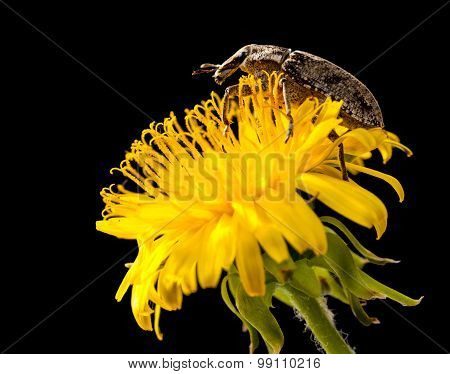 Weevil Climbing On Dandelion