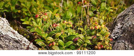 Cowberry Bushes