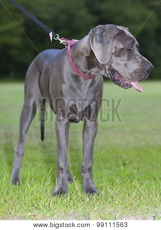 Young Great Dane