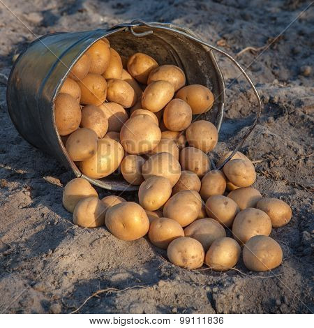 Potatoes Are Poured Out Of A Bucket On The Ground