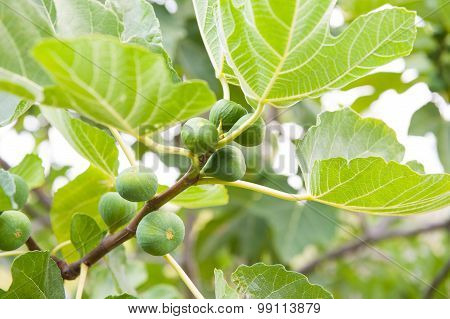 Branch Of Fig Tree With Ripe Fruits