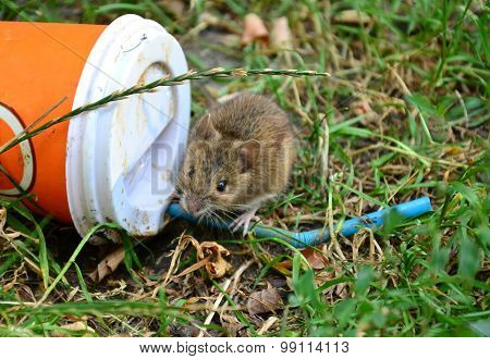 Little Rat Sitting On A Plastic Cup Thrown On The Grass