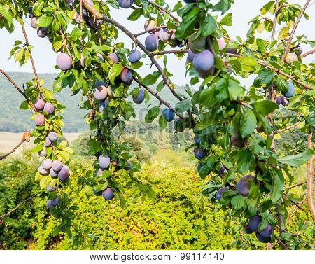 Purple Plum On Tree Branch