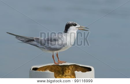 Common Tern, Juvenile