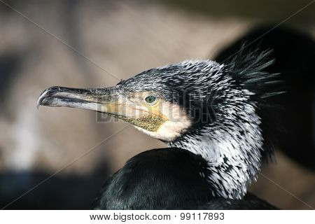 Portrait Of A Cormorant Close Up In The Sunlight