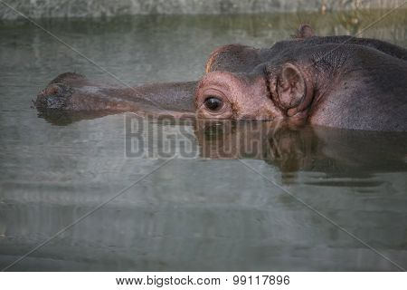 Portrait Head Of A Hippopotamus In The Water