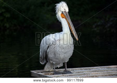 Portrait Of A Pelican Standing By The Water