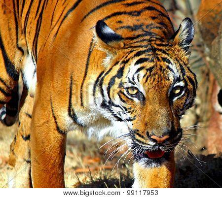 Malay Tiger