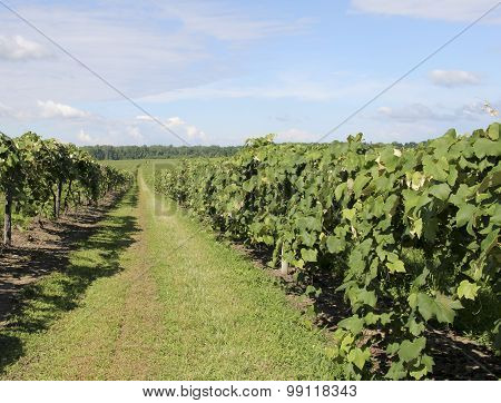 Grape Vineyard Of North East America