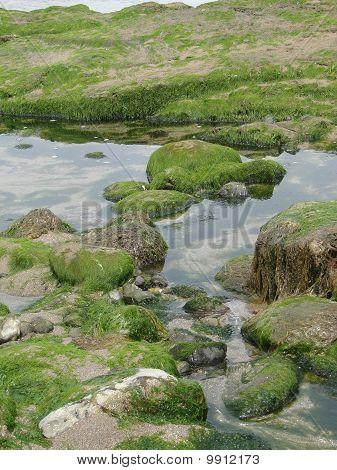 Seaweed And Kelp On Beach Rocks At Low Tide