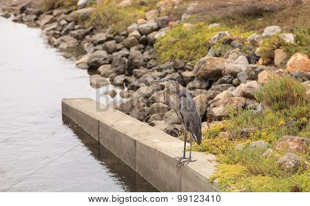 Great blue heron in the wild