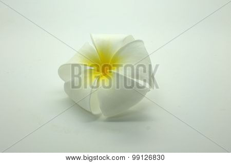 White and yellow Plumeria on white