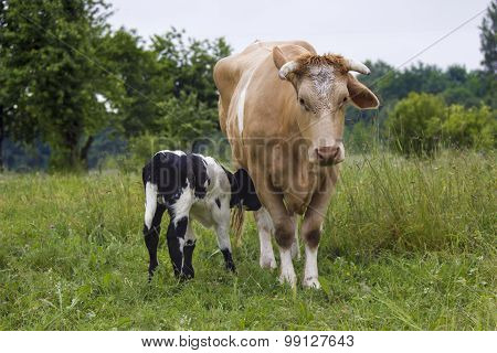 Cow And Calf Suckling In A Meadow