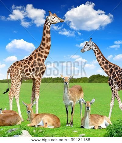 antelope with giraffes
