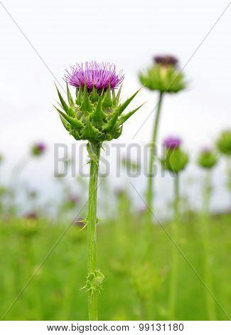 Field with Silybum marianum (Milk Thistle)