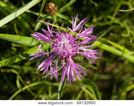 Blooming Brown Knapweed, Centaurea Jacea Macro, Selective Focus, Shallow Dof