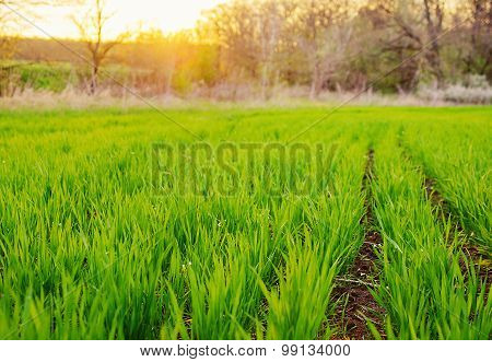 Agricultural Field With Young Sprouts Of Corn.