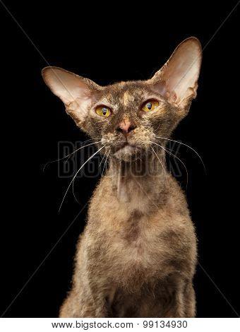 Closeup Peterbald Sphynx Cat Curiosity Looking On Black