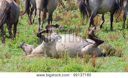 Happy Konik Horse
