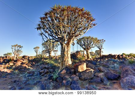 Quiver Tree Forest - Nambia