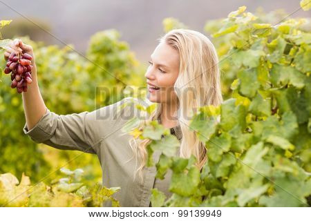 Smiling blonde winegrower holding a red grape in a vineyard