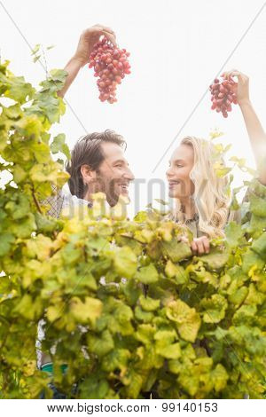 Smiling winegrowers couple holding red grapes in a vineyard