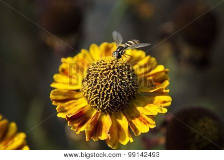 Small fly on yellow flower