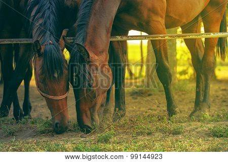 Pair Of Brown Arabian Horses Grazing