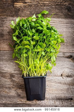 potted coriander on a wooden background