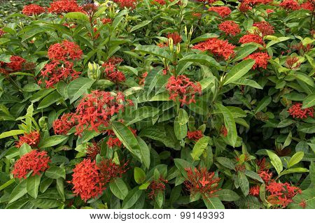 Ixora Flowers In The Garden At The Park