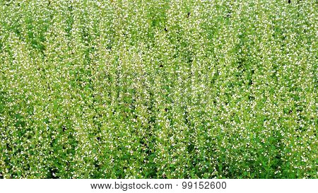 Green Plant And White Flowers Field And Meadow