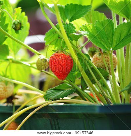 Strawberry On Twig