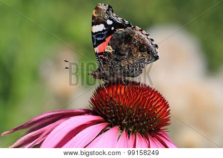 Red Admiral Butterfly Feeding On Coneflower