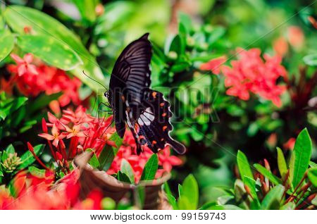 Black Butterfly With White And Orange Pattern Landing On Red Flower
