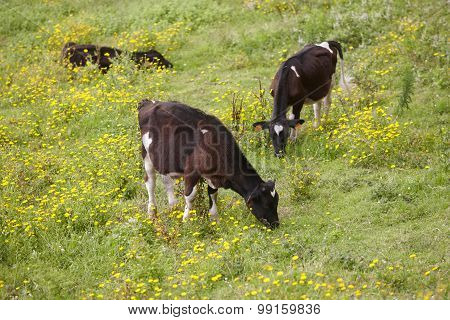 Registered Young Cows Grazing In The Countryside. Azores. Portugal