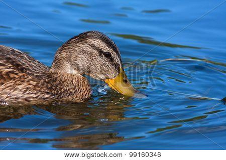 Head Of Duck