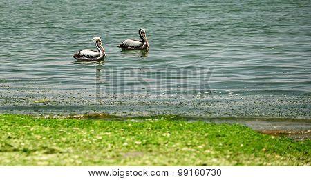 Peruvian pelicans
