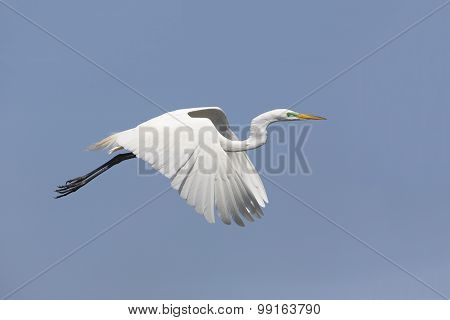 Great Egret In Breeding Plumage Taking Flight