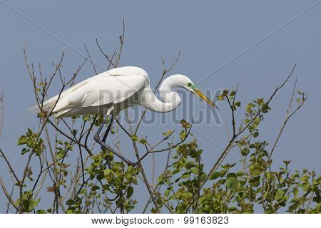Great Egret In Breeding Plumage Perched In A Tree