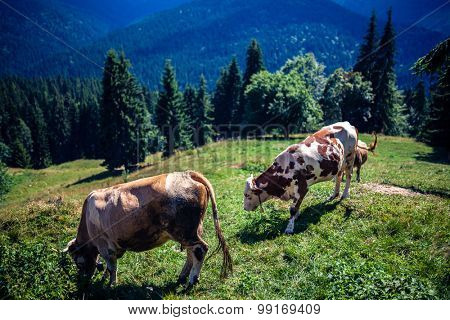 Cows on a mountain in Romania, shot at 1.4 with Sigma 35 Art