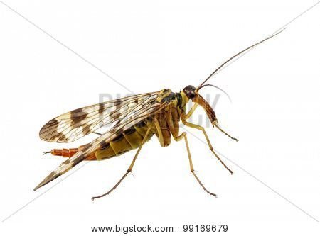 Mosquito isolated on white background