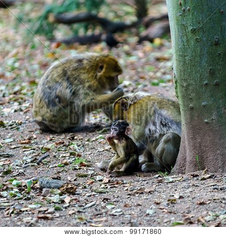 Macaco Monkey Baby In The Natural Forest