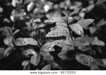 leafs with rain drops
