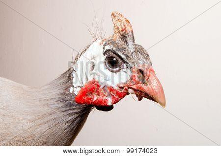 Helmeted guinea fowl (Numida meleagris).