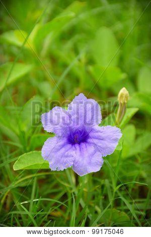 Waterkanon , The Violet