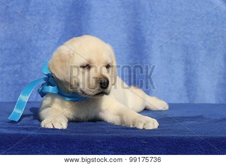 Labrador Puppy On The Blue Background