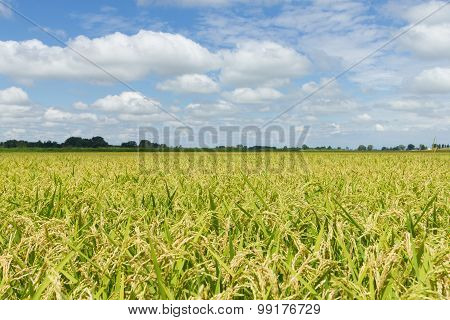 Rice Field Cloudy
